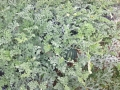 anguria su campo
