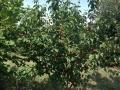 ciliege su albero